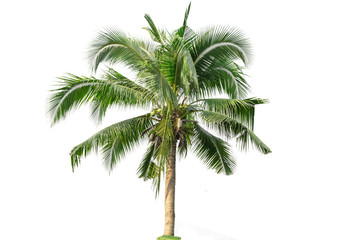 Canvas Prints Palm tree Coconut tree isolated on white background