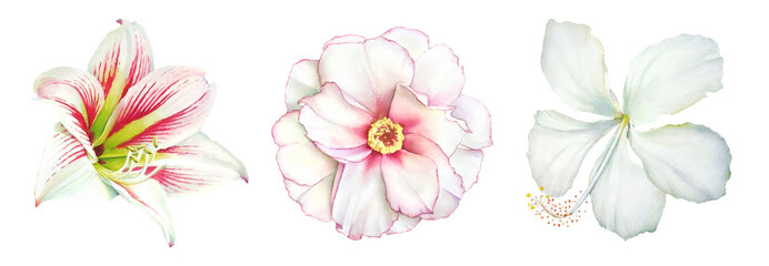 Realistic watercolor botanical illustrations of the amaryllis, peony and hibiscus white flowers