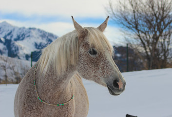 portrait of a white purebred arab horse on a background of mountains