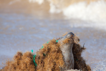 Marine pollution. Seal caught tangled in nylon plastic fishing net discarded at sea.