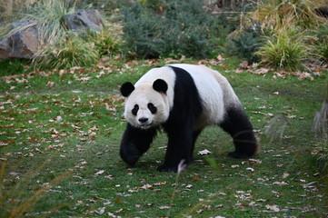 the panda walks in search of bamboo