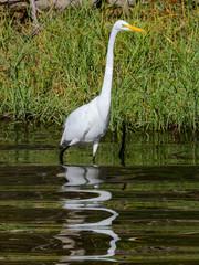 Fototapete - Great Egret