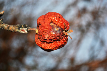 Rotten apple on tree, close up detail, soft blurry gray background, autumn day