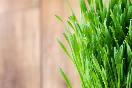 Freshly sprouted wheatgrass with water drops. Copy space
