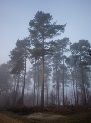 Misty forest trees
