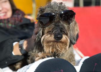Cane bassotto a pelo ruvido con occhiali da sole