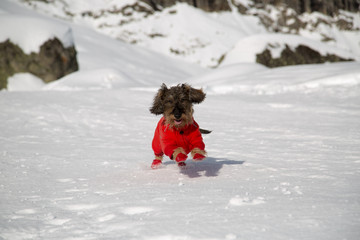Cane bassotto a pelo ruvido sulla neve
