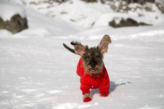 Cane bassotto a pelo ruvido corre sulla neve