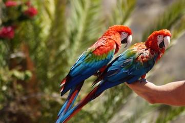 Zwei Papageien auf der Hand eines Mannes sitzend (Pamitos Parque Gran Canaria)