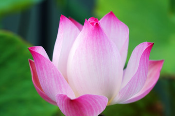 Wall Mural - close up of pink lotus flower with green background.