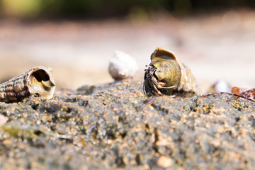 Close up of a Hermit crab in a horn shell walking across a rock at the sea shore.
