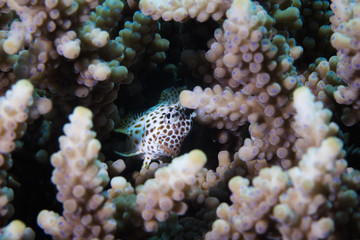 A Leopard Blenny - Leopard Rockskipper (Exallias Brevis) fish hiding between the coral on the reef peeking out at the camera. Light color body with brown spots.