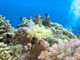 Colorful coral reef on the bottom of tropical sea, underwater landscape