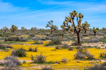 Spring season in the Mojave Desert of California with Joshua Trees and yellow wildflowers