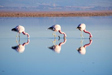 Flamingos in Laguna Chaxa - Atacama