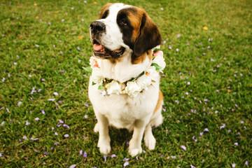 saint bernard dog ready for wedding ceremony
