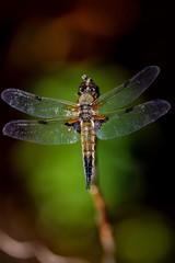 Libelle mit Parasiten