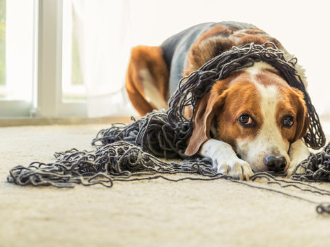 A Beagle dog is tangled up in a big ball of yarn.
