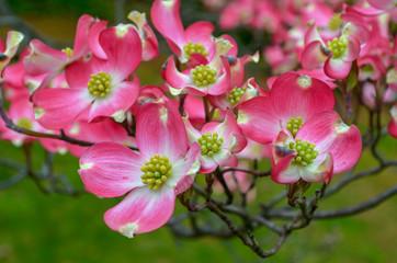 many Pink Dogwood Flower blossom