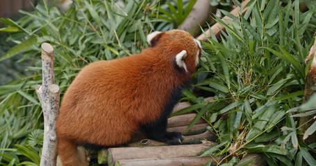 Fototapete - Red panda eat bamboo
