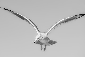 Ring-billed gull in black and white