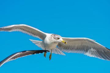 Ring-billed gull flying