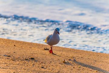 Seagull walking on the beach