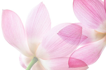 Lotus on white background