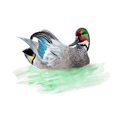 Duck Watercolor Painting ,Print Wall Art ,Hand painted. Duck Illustration isolated on white background.