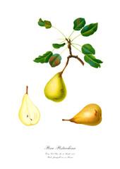 Pear vintage watercolour school poster