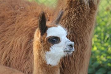 a cute young alpaca portrait closeup in the fields