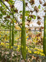 gourd in vegetable garden,