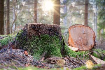 frisch abgesägter Baumstumpf im Wald bei Gegenlicht