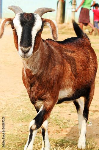 Indian goat capra in the village