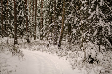 winter day in forest, trees covered in fresh white snow
