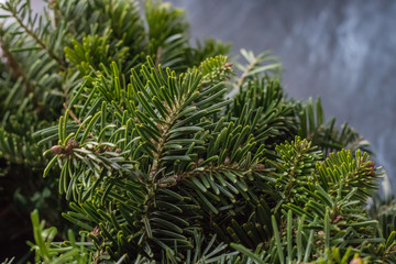 Christmas wreath of blue spruce pine fir, with no decorations isolated over dark background.