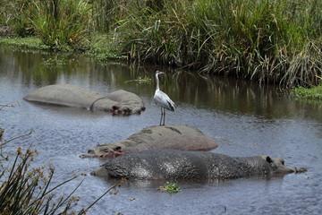 Nilpferde in der Savanne der Serengeti