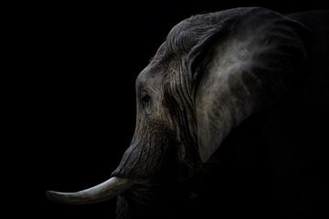 Portrait Elefant mit Stoßzähnen schwarzer Hintergrund Wall mural