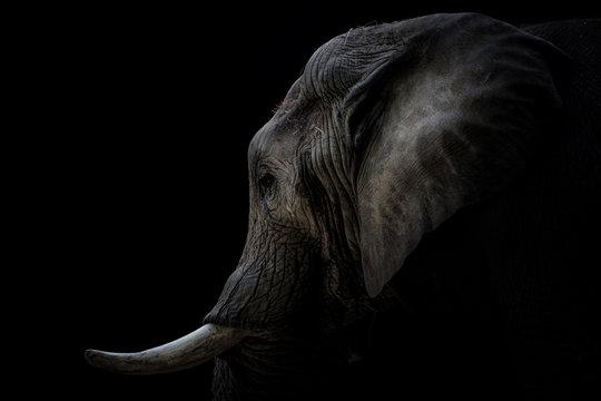 Portrait Elefant mit Stoßzähnen schwarzer Hintergrund