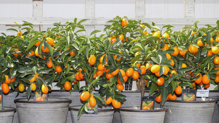 Decorative citrus plants in pots with bright orange fruits . Botanical garden. Clear sunny day. Beautiful background.
