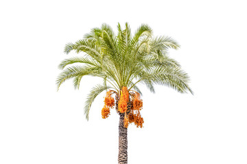 Palm tree cut out on white background. Jungle objects set.
