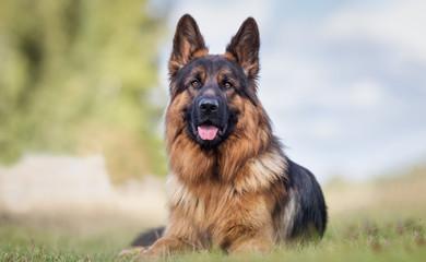 Portrait of a German Shepherd Fotomurales
