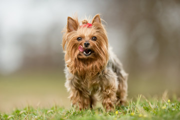 yorkshire terrier on grass Wall mural