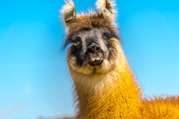 Keuken foto achterwand Lama Wildlife, Farmland - The portrait of a young llama, it lives on a pasture in Deckenbach Germany, on a sunny day in spring, with cloudless blue sky