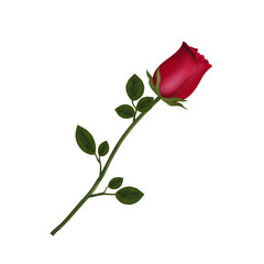 highly detailed flower of red rose isolated on white background.