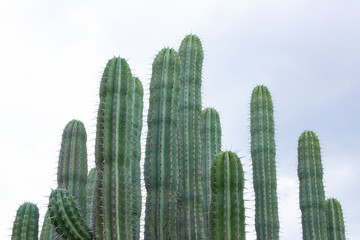 Detail of some green cactus