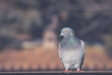 Domestic pigeon is a pigeon subspecies that was derived from the rock dove also called the rock pigeon.