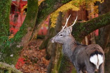 Foto op Plexiglas Asia land 奈良公園 鹿と紅葉