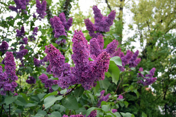 Wall Murals Lilac Florescence of Syringa vulgaris (common lilac) springtime. lilac blooming, Spring.