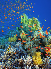 Keuken foto achterwand Koraalriffen Coral reef an acropor with a flock of antias.